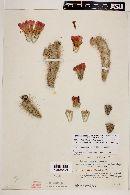 Cylindropuntia imbricata var. imbricata image
