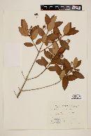 Myrcia palustris image