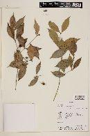Myrcianthes pungens image