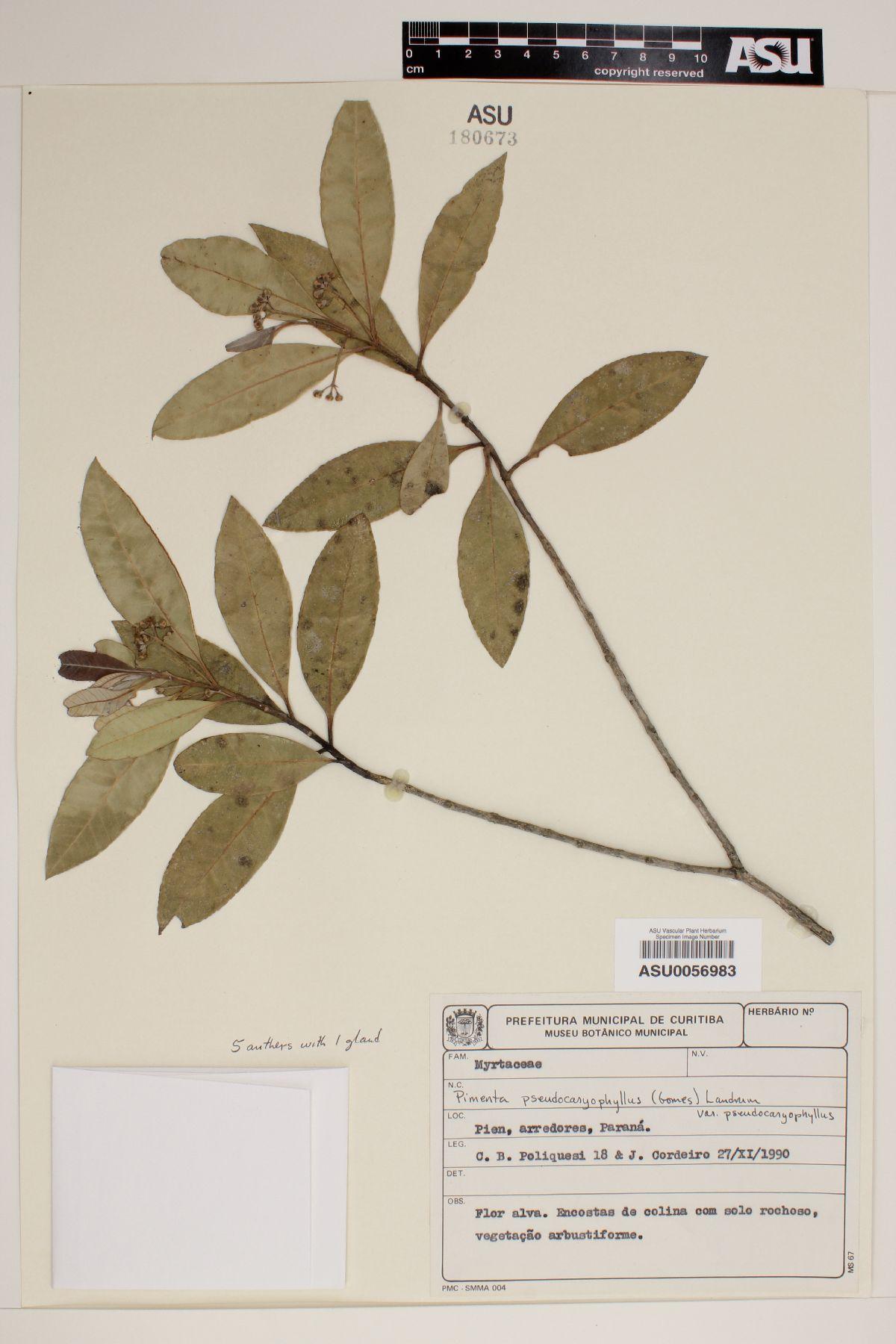 Pimenta pseudocaryophyllus image
