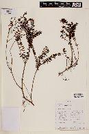 Myrteola nummularia image