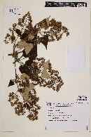 Image of Mikania lagoensis