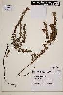 Image of Mimosa paranapiacabae