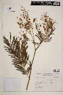 Image of Acacia velutina