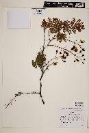 Caesalpinia eriostachys image