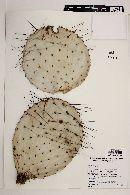 Opuntia gosseliniana image
