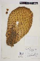 Opuntia leucotricha image