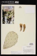Opuntia wilcoxii image