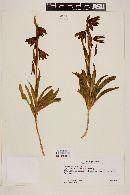 Image of Fritillaria biflora