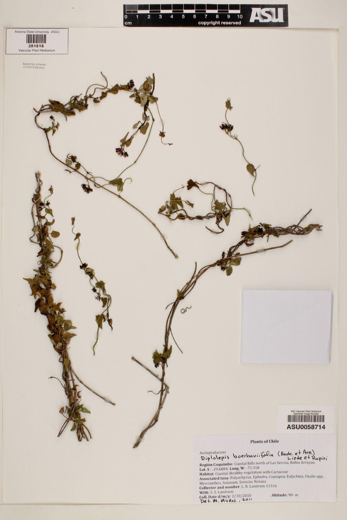 Diplolepis boerhaviifolia image
