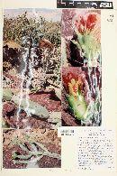 Image of Cylindropuntia calmalliana