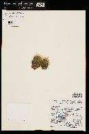 Image of Mammillaria erythrosperma
