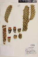 Image of Opuntia cylindrica