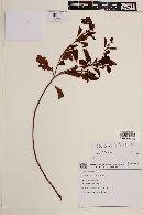 Image of Croton fuscus
