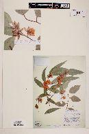 Eucalyptus tereticornis image