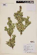 Myrceugenia ovata image