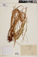 Image of Axonopus jesuiticus