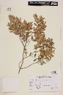 Myrceugenia euosma image