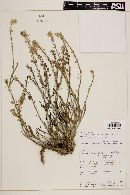 Image of Menonvillea orbiculata