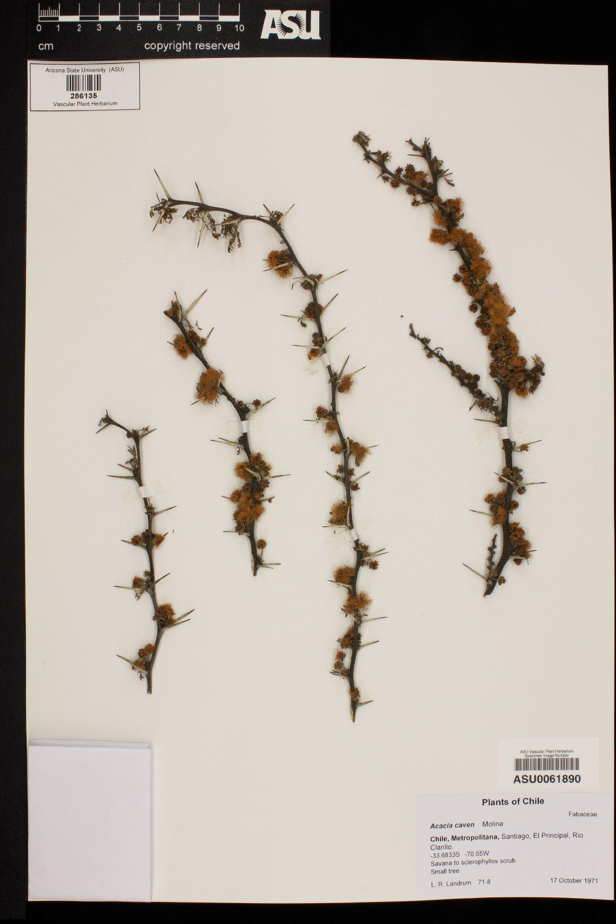 Acacia caven image