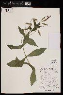 Image of Erythranthe verbenacea