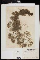 Cabomba australis image