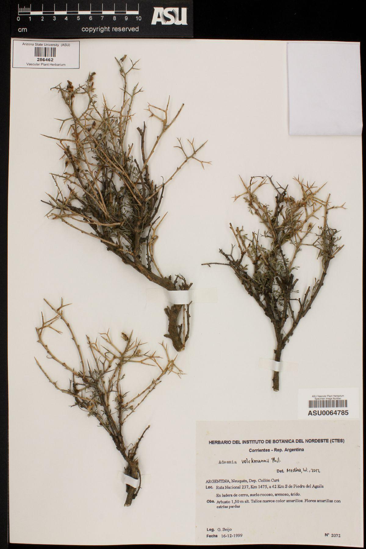 Adesmia volckmannii image