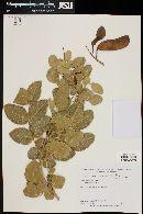 Image of Caesalpinia marginata