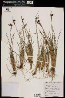 Sisyrinchium chilense image