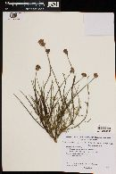 Junellia spathulata image