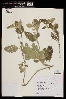 Solanum aridum image