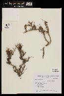 Image of Frankenia patagonica