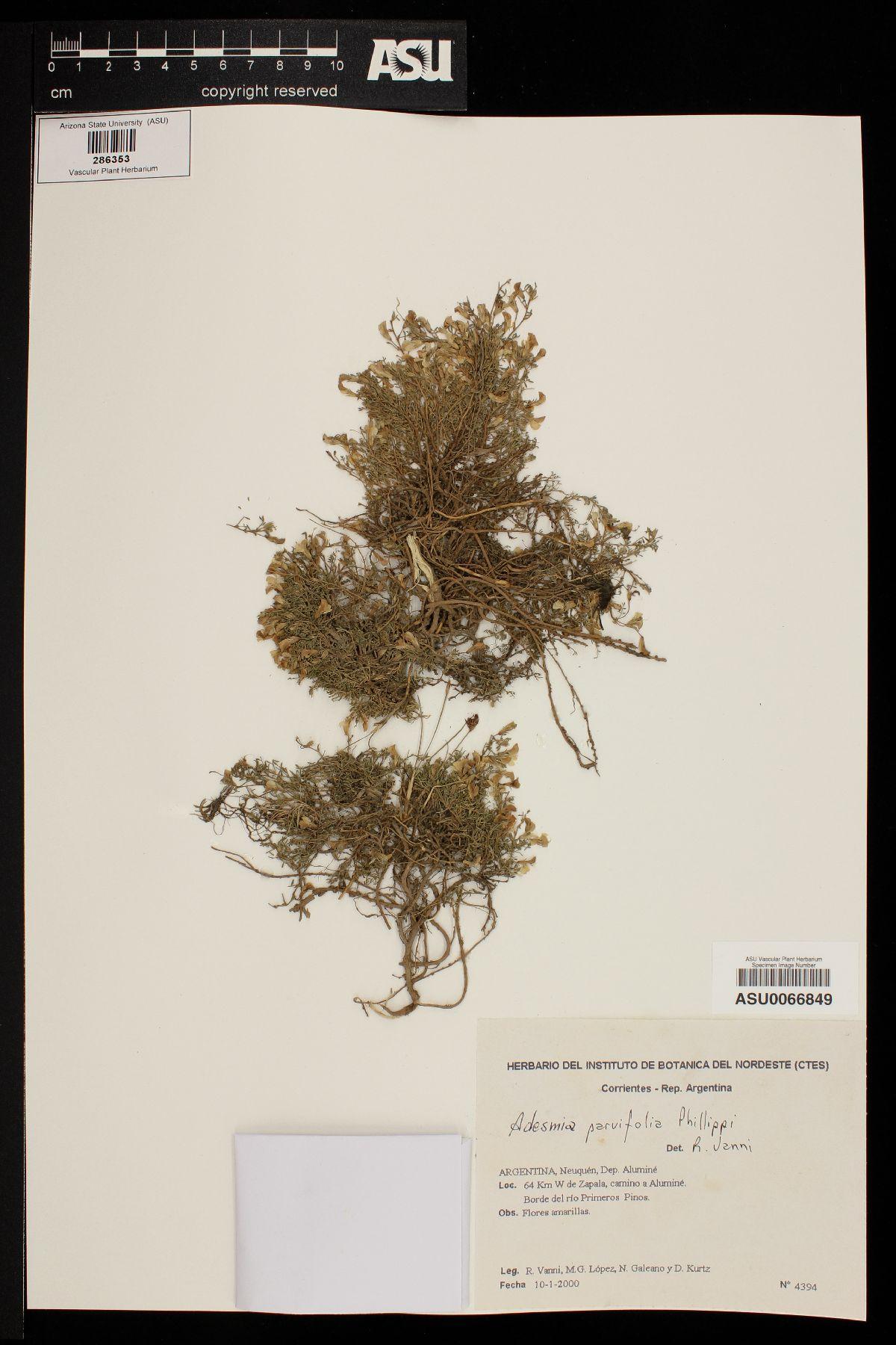 Adesmia parviflora image