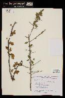 Image of Bougainvillea praecox
