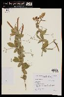 Lathyrus nervosus image