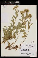 Tessaria absinthioides image