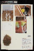 Eriosyce islayensis image