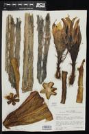 Echinopsis pachanoi image