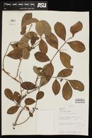 Psidium guineense image