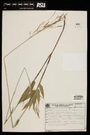 Image of Aulonemia effusa