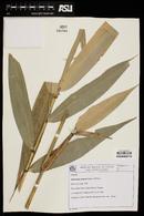 Image of Aulonemia setigera