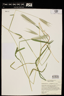 Hordeum murinum subsp. glaucum image