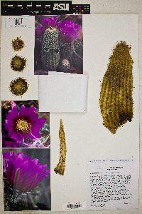 Echinocereus bonkerae image