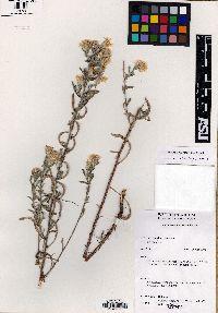 Heterotheca marginata image