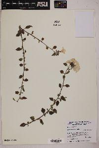 Image of Cordia parviflora