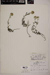 Image of Alyssum ovirense