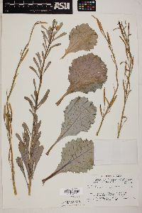 Brassica oleracea image