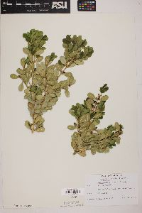 Buxus microphylla image