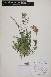 Astragalus tephrodes image
