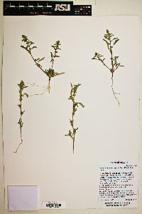 Amaranthus torreyi image